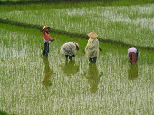 Dans les rizières (1)