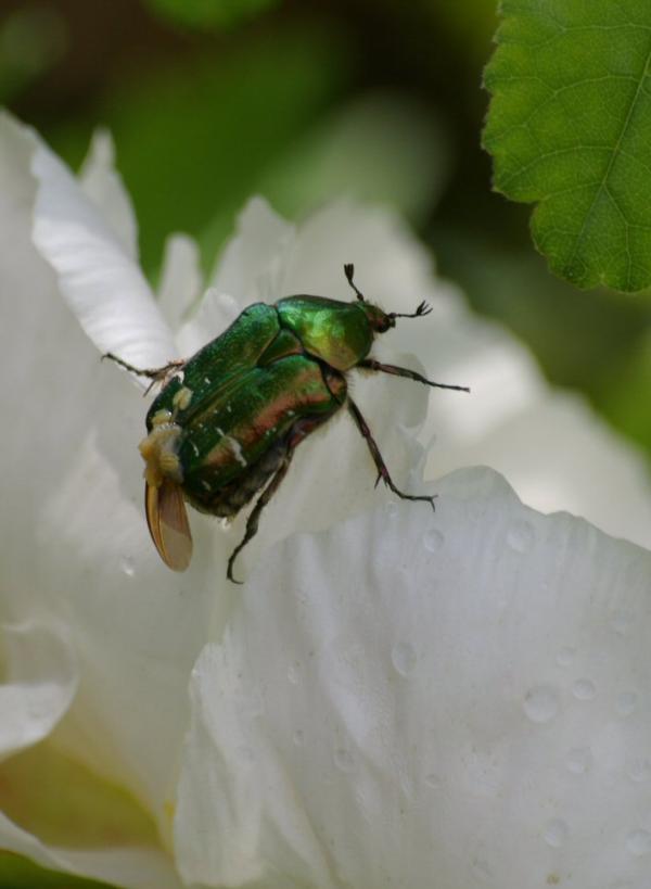 Le scarabée vert