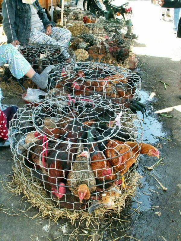 Les cages à poulets