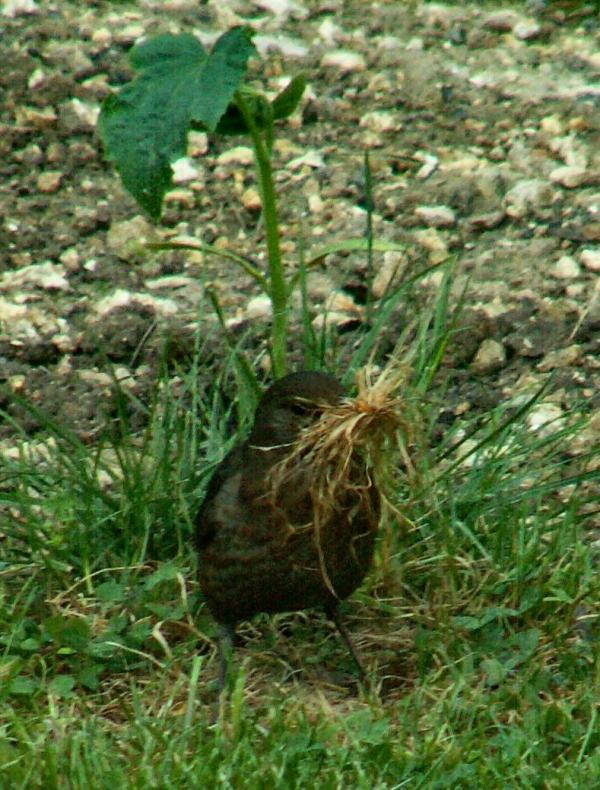 Merlette prépare son nid