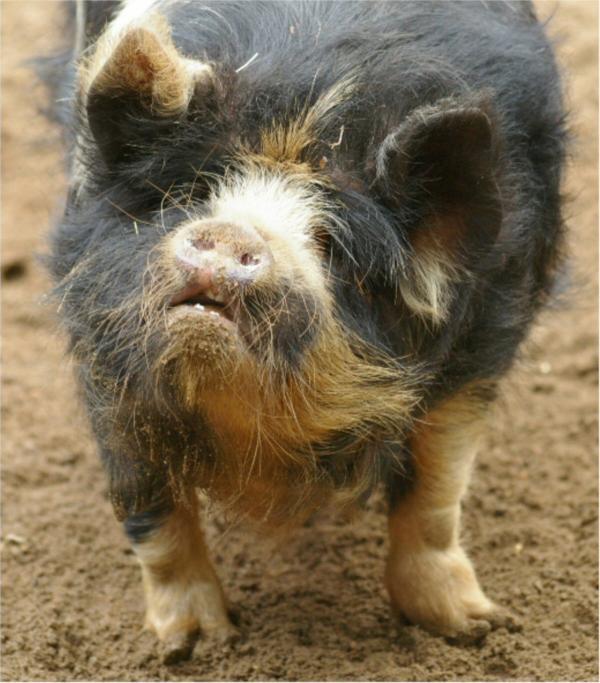 Le cochon vietnamien