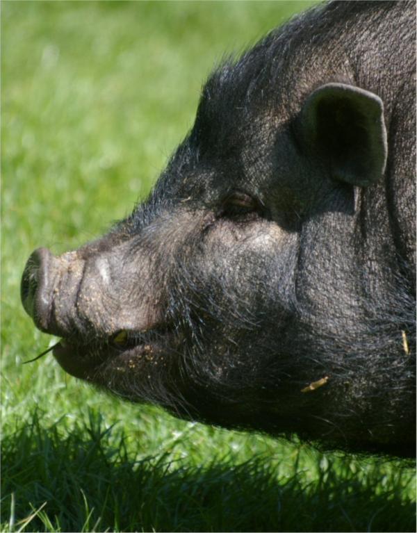 Le cochon noir