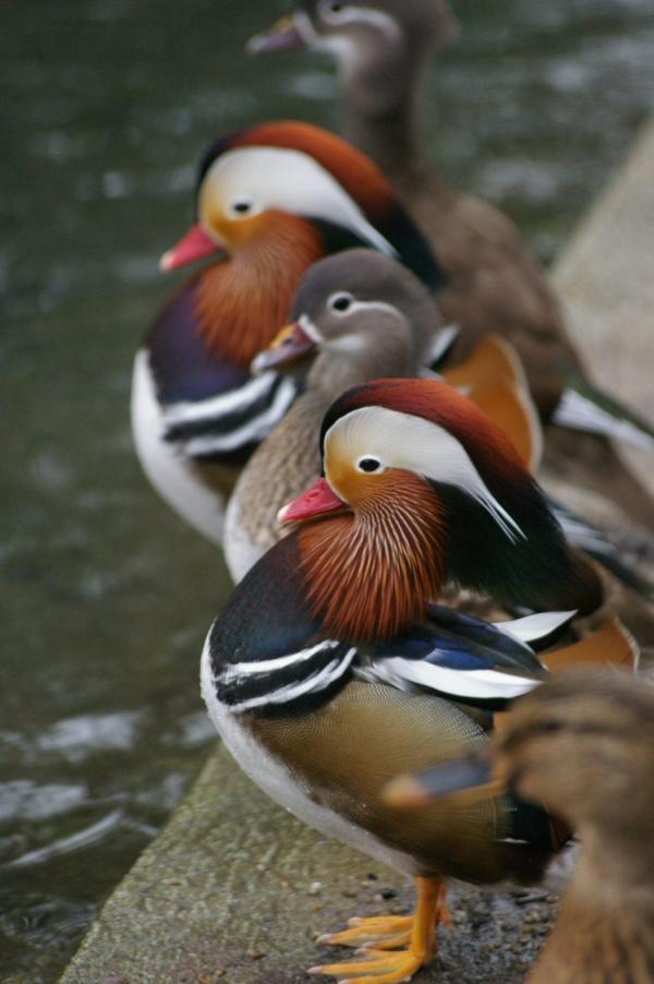 Les canards sont de sortie (3)