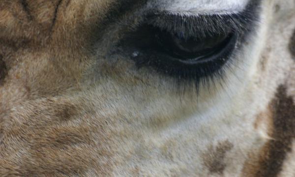 Clin d'œil de la girafe