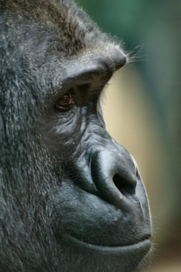 Le gorille (3)
