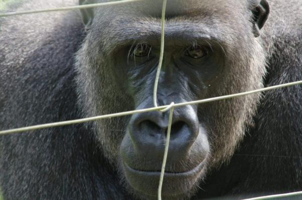 Gorille au parc de la Mefou