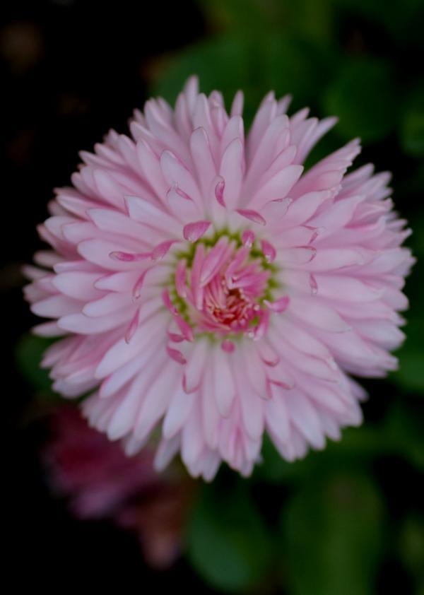 La pâquerette rose