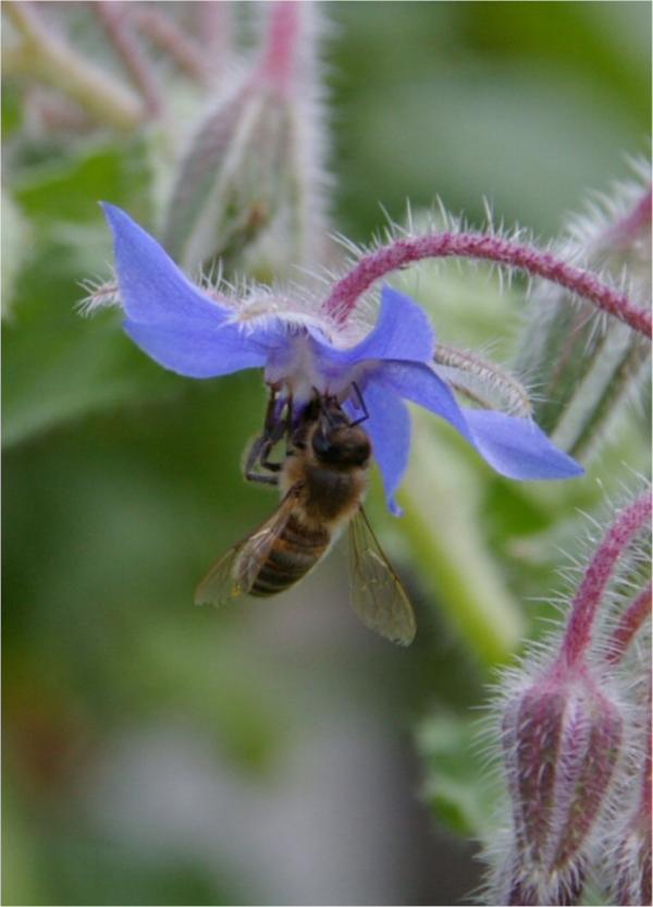 Insectes butineurs (4)
