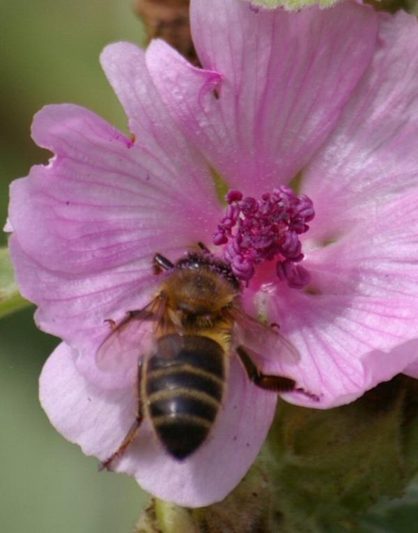 Petite abeille butine