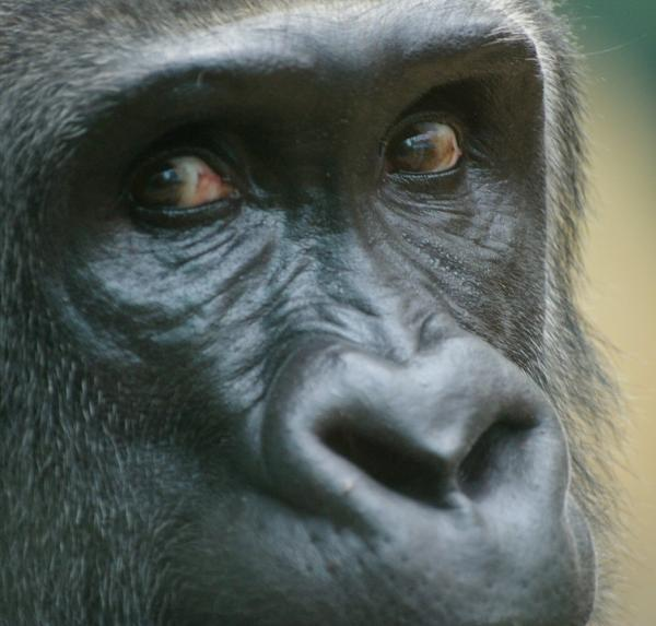 Le gorille (1)
