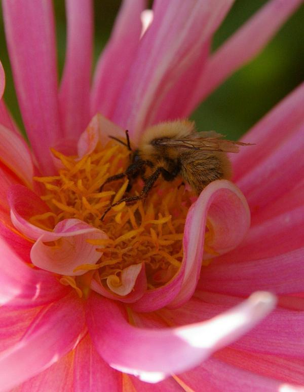 L'abeille et le dalhia