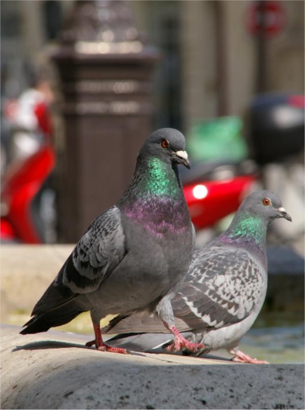 Le pigeon parisien