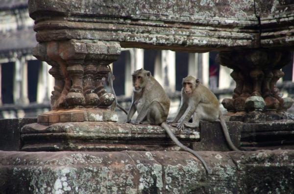 Les singes d'Angkor Wat
