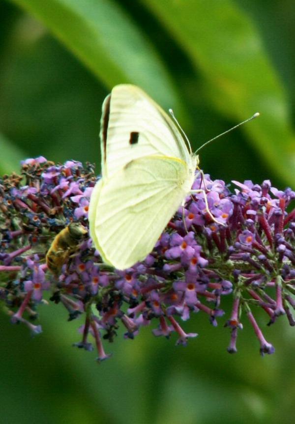 L'abeille, le papillon et le buddleia