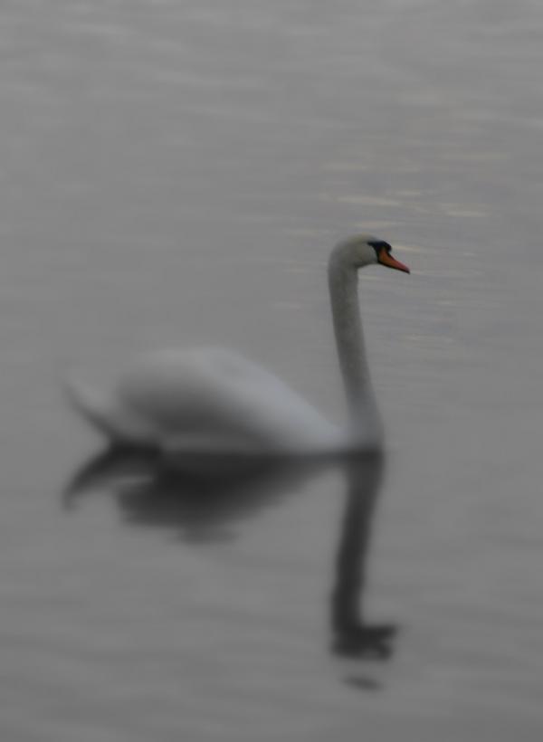 Cygne sur la Loire