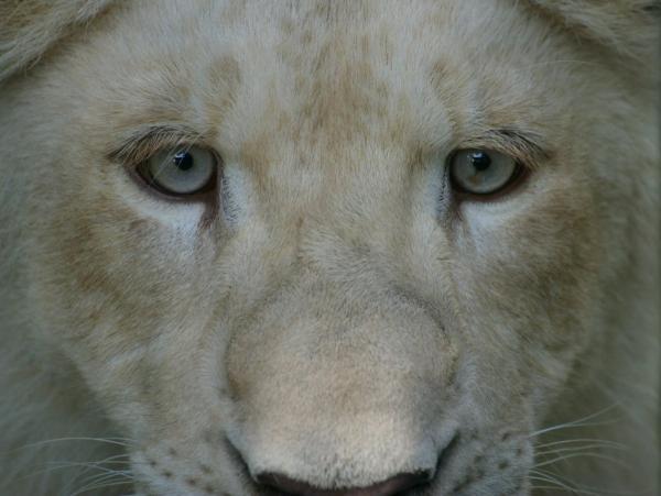 Le lion blanc (2)