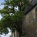Le chêne de Cheillé
