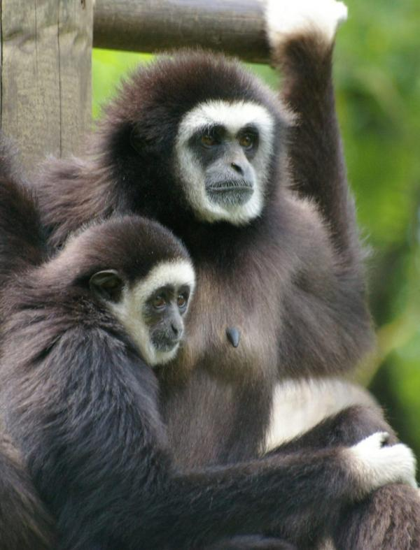 Femelle gibbon et son petit