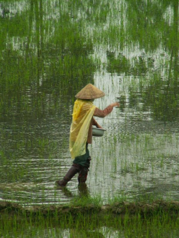 Dans les rizières (2)