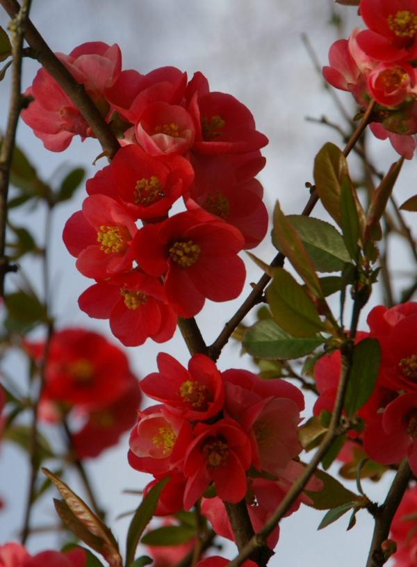 Cognassier en fleurs