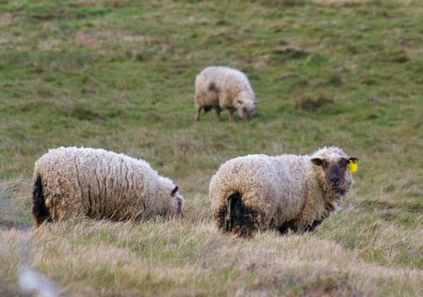 Moutons dans la lande