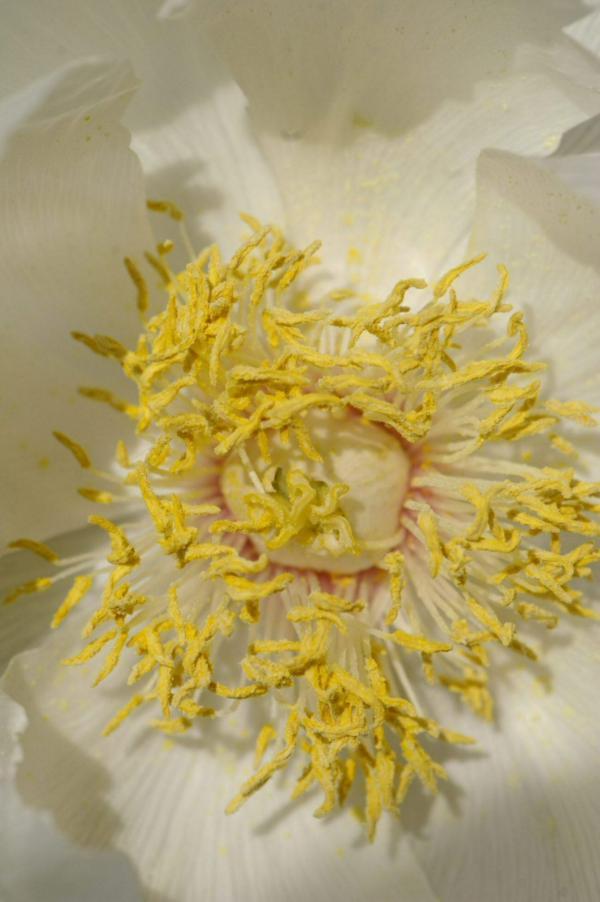 Cœur d'une pivoine blanche