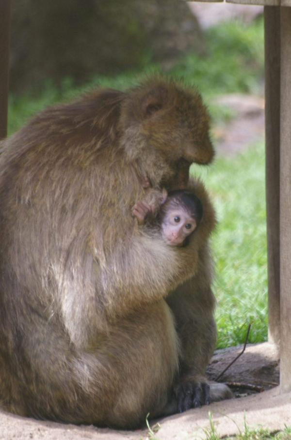 Femelle macaque et son petit