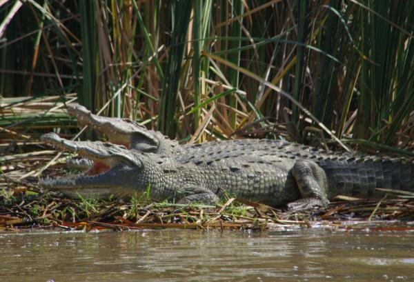 Crocodiles du lac Chamo