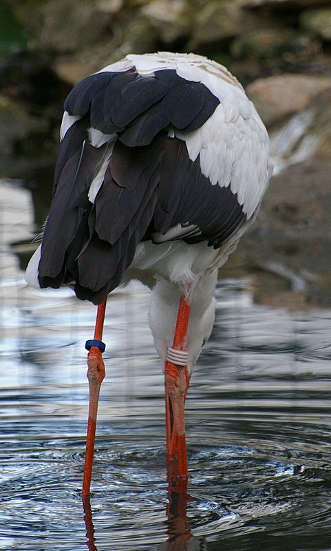 Cigogne dans l'eau (3)