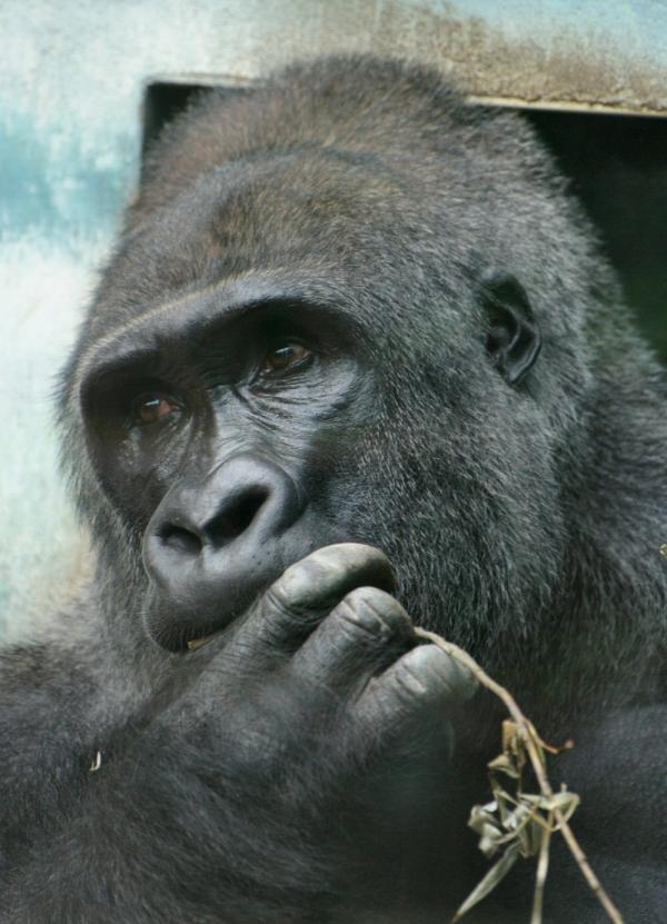 Le gorille (2)