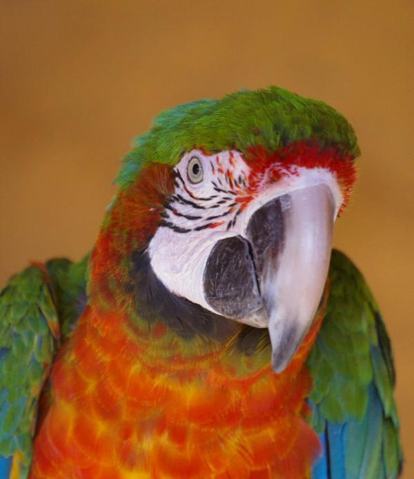 Perroquet (1)