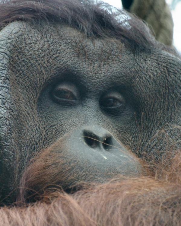 L'orang-outang (2)