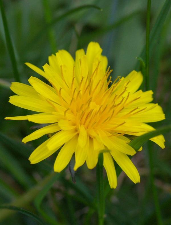 Une simple fleur de pissenlit