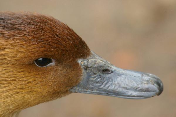 Les canards sont de sortie (2)