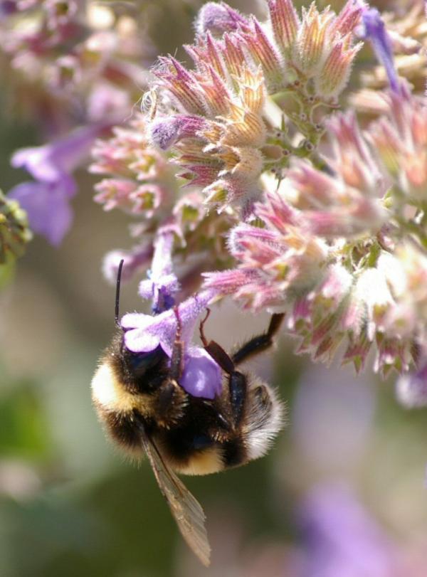 L'abeille (2)