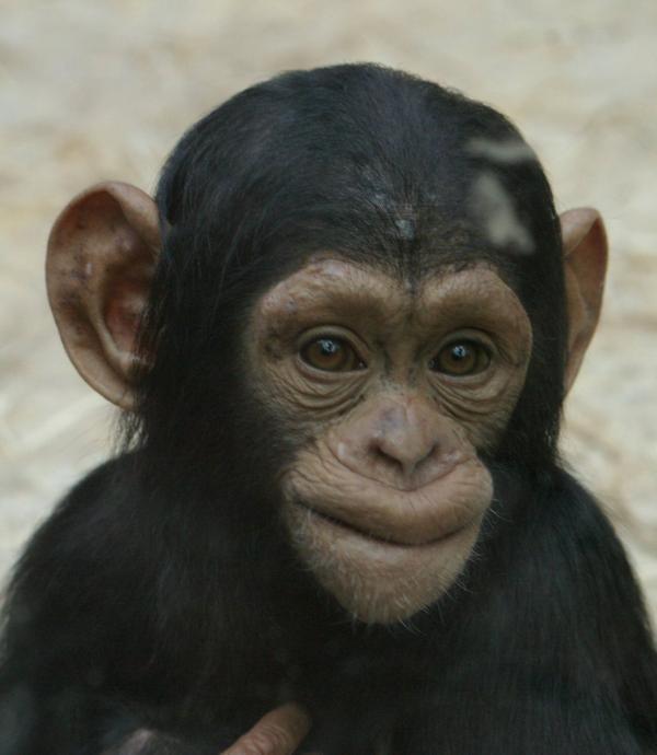 Jeune chimpanzé