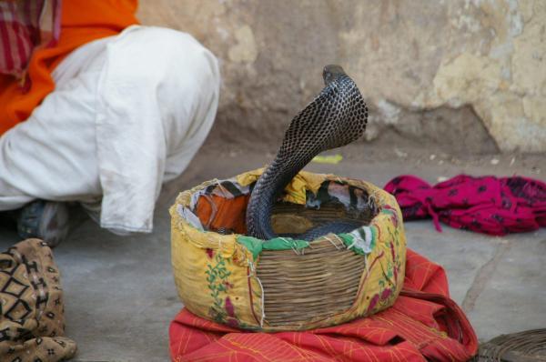 Cobra dans son panier
