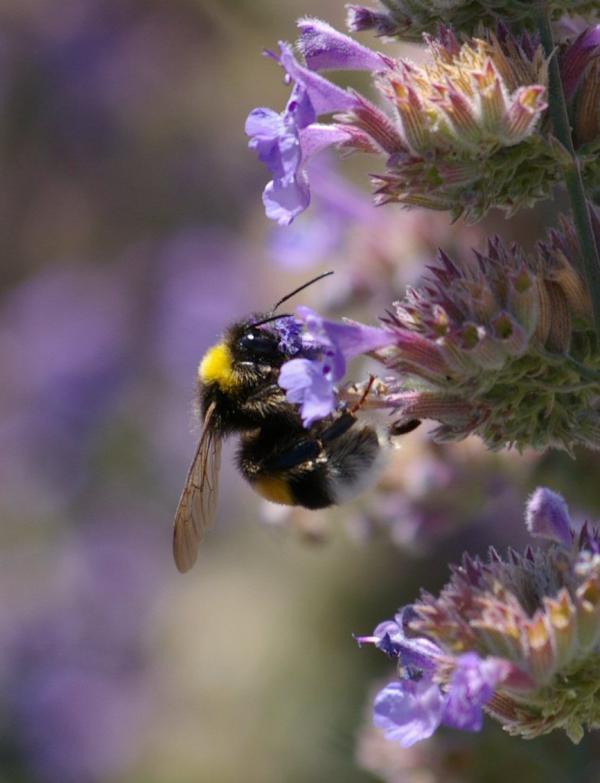L'abeille (1)