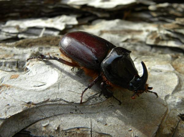 Le scarabée rhinocéros