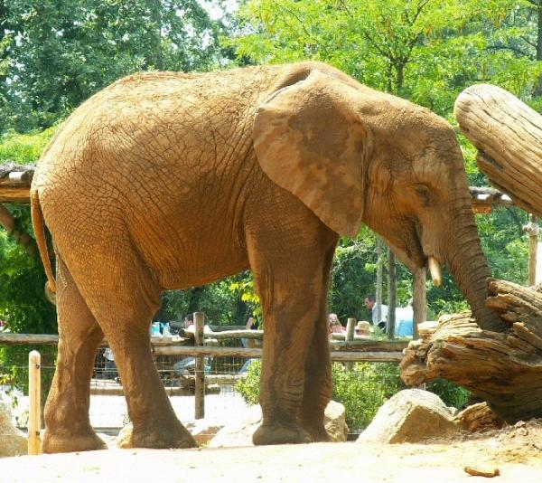 Éléphant d'Afrique (2)