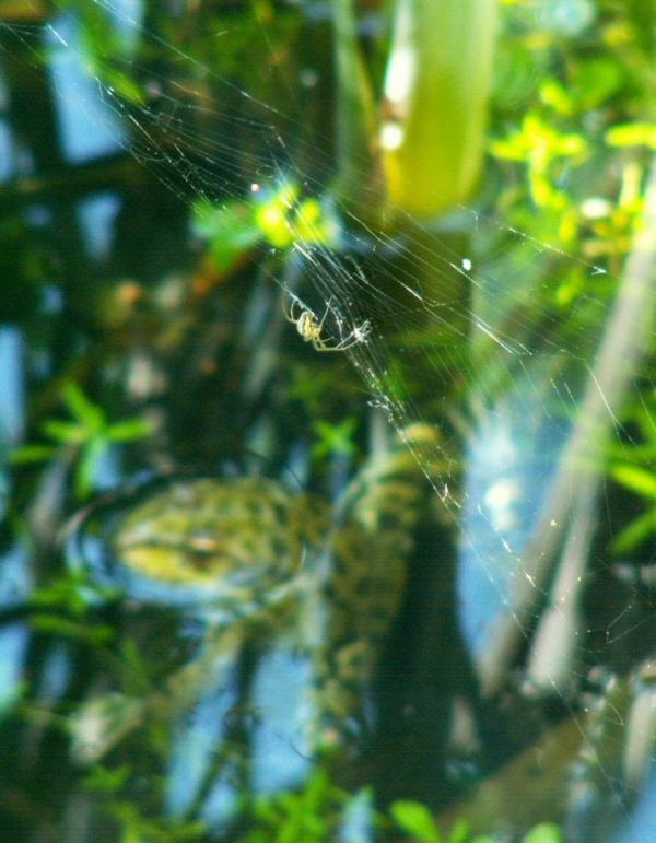 L'épeire et la grenouille