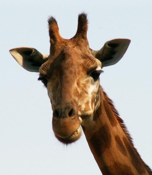 http://laphotodujour.hautetfort.com/photos/medium_girafe2.jpg