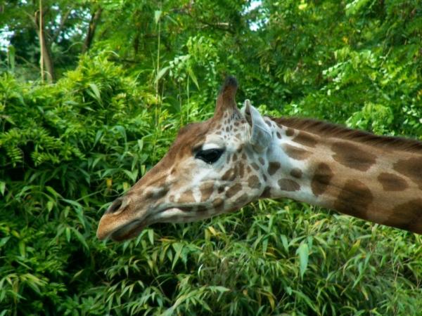 Les girafes (3)