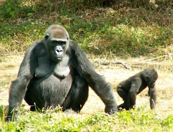 Femelle gorille et son petit (1/3)