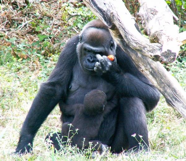 Femelle gorille et son petit (3/3)