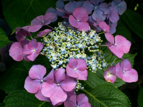 http://laphotodujour.hautetfort.com/photos/medium_hortensia.2.jpg