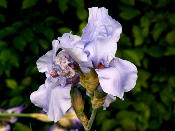 Le temps des iris (1)