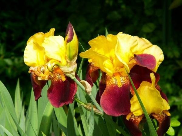 Le temps des iris (2)
