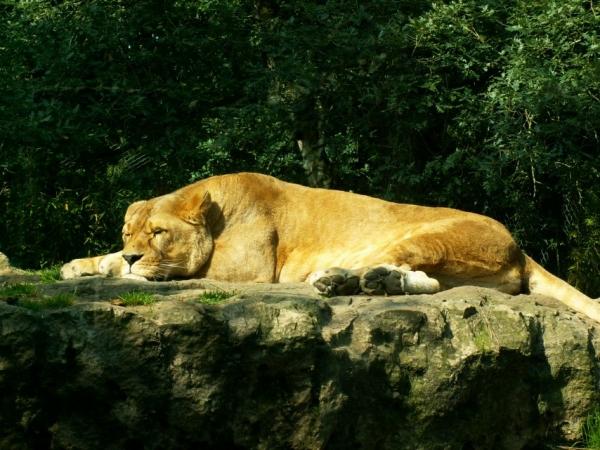 La lionne (1)