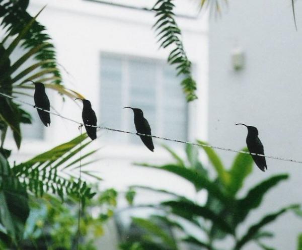 Les oiseaux-mouches